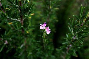 FORTICEA met rozemarijn tegen haaruitval